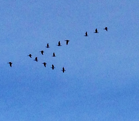 Barnacle Geese over Mere