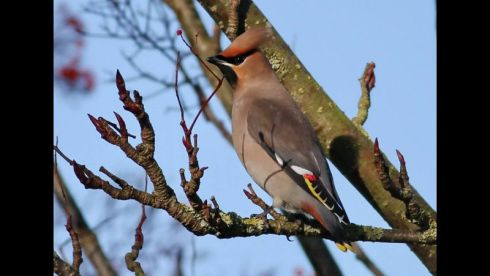 Waxwing - Rich Willison
