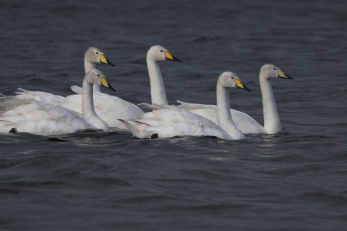 Whooper Swans off 2nd field