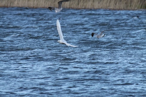 Iceland Gull off KP late aft