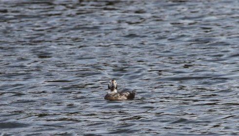Long-tailed Duck off KP