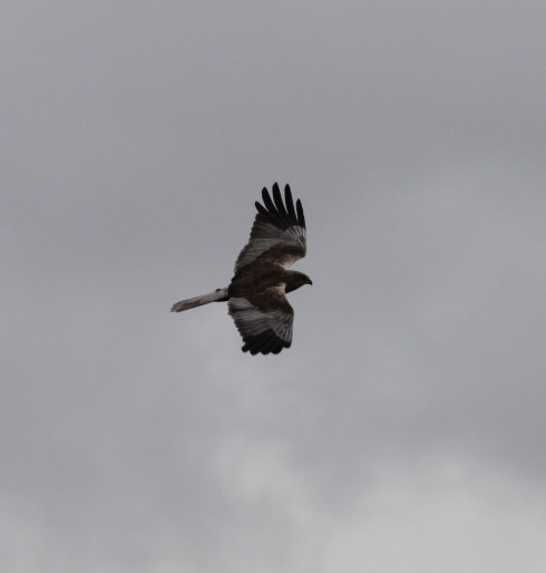 male Marsh Harrier through the southside