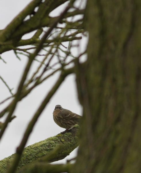 scandi Rock Pipit - 2nd field