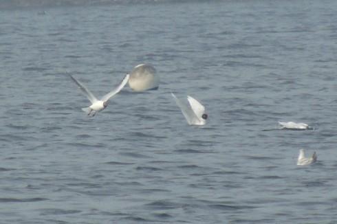 Mediterranian Gull Hornsea Mere 300314a RL