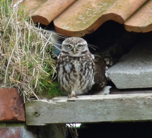 Little Owl - Ade Johnson