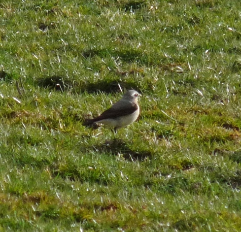 Wheatear - Ade Johnson