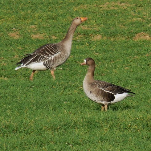 1w White-fronted Goose - Ade Johnson