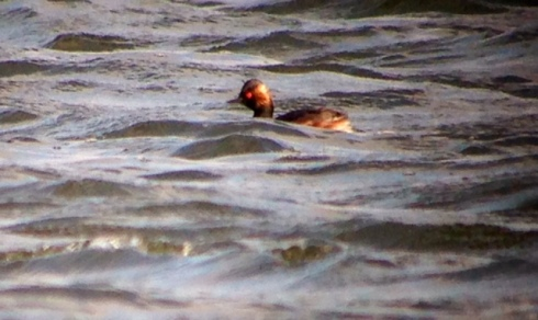 Black-necked Grebe off 2nd field