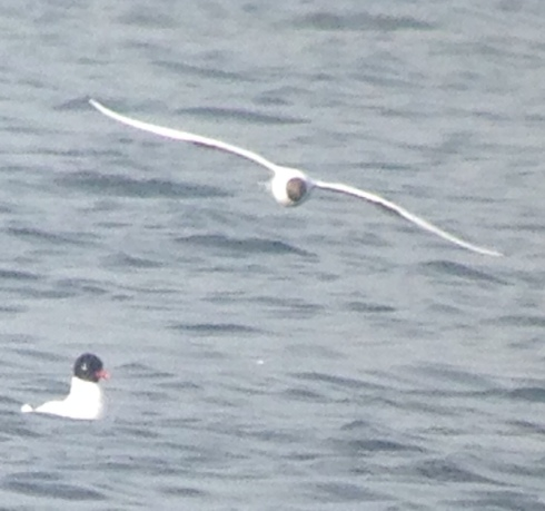distant on a hazy Mere - ad summer Med Gull