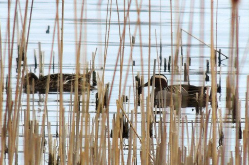 Garganey Pair Wassand Hide 010414a RL
