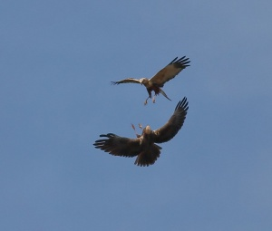 Some of the Marsh Harriers from the Wassand hide - Rich Willison