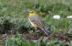 1 of 2 Yellow Wagtail on KP - Rich Willison