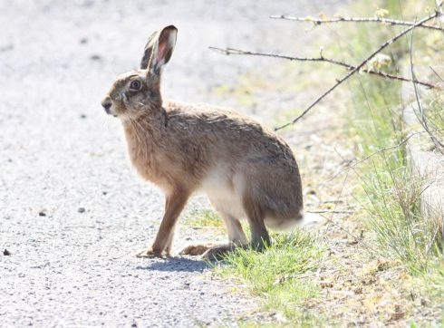 Brown Hare - Cowden