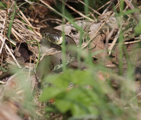 Grass Snake in Bull Hole - Simon Pugh