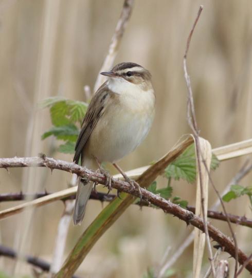 Sedge Warbler - 1st field reedbed
