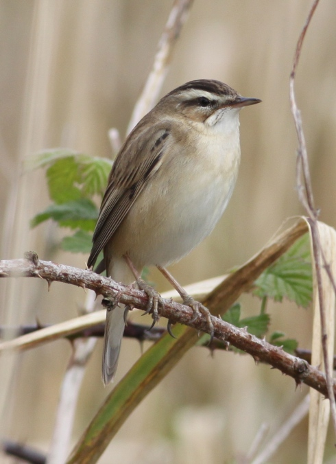 Sedge Warbler - contemplating a summer at the Mere