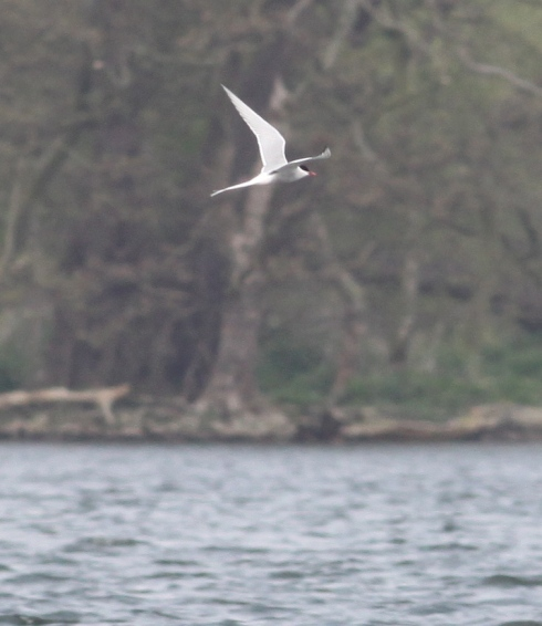Arctic Tern - distant from 2nd field, 1 of 5 seen thru the Mere today