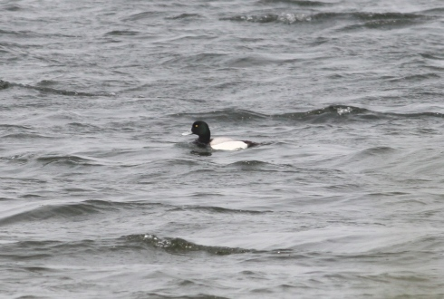 drk Scaup - off 1st field reedbed