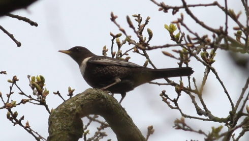 1 of 2 Ring Ouzel - Wassand Woodland walk