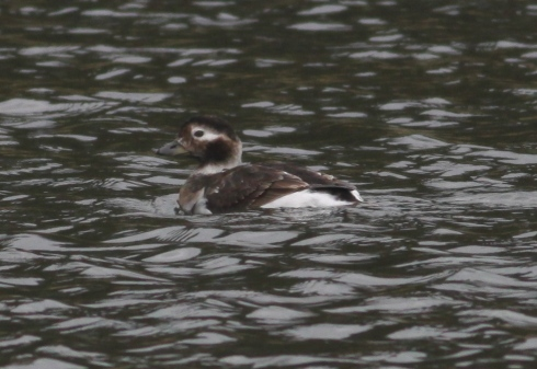 Long-tailed Duck from KP