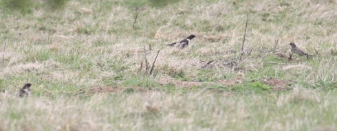 recordshot of 3 of the 5 Ring Ouzel seen today