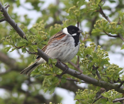 Reed Bunting - 1st field