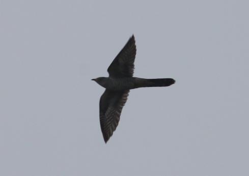 Cuckoo early am Cowden