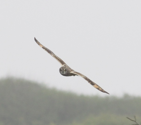 Short-eared Owl in off clifftop