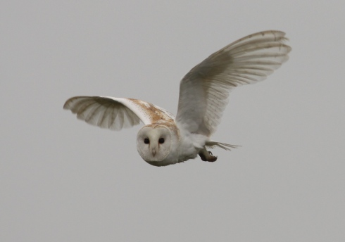 Barn Owl - classing the place up