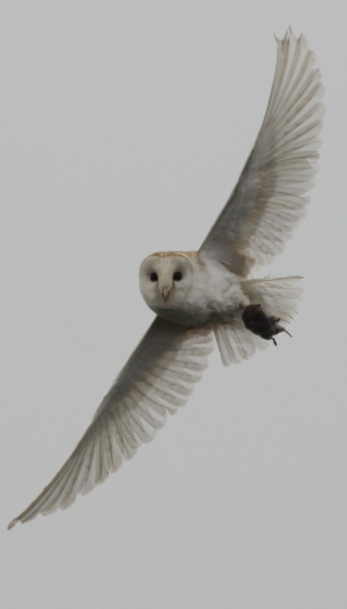 Barn Owl - with prey (prob Field Vole)