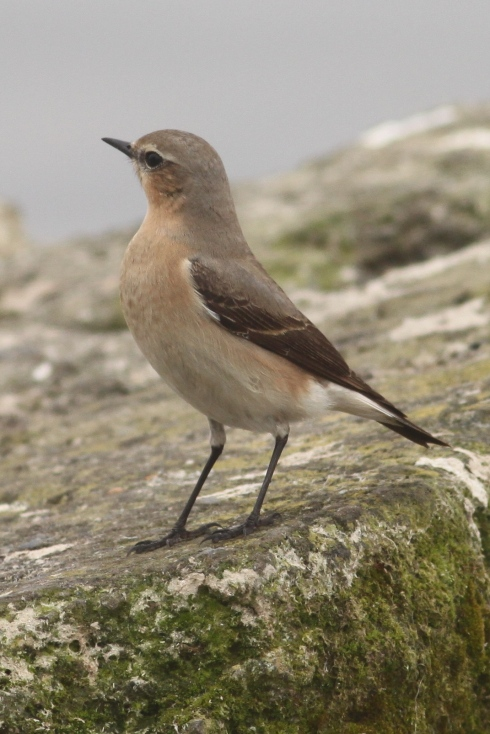 Wheatear - Kirkholme Point