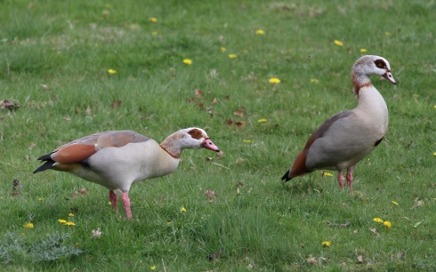 Egyptian Geese, Wassand car park - Rich Willison