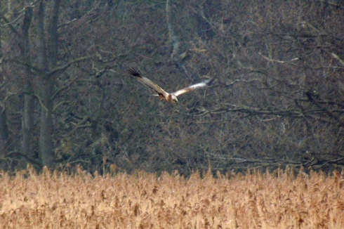male Marsh Harrier - Roy Lyon