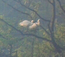 recordshot of the 2 Spoonbill on Swan Island