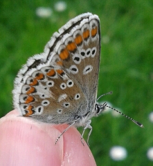 freshly emerged Brown Argus on thumb