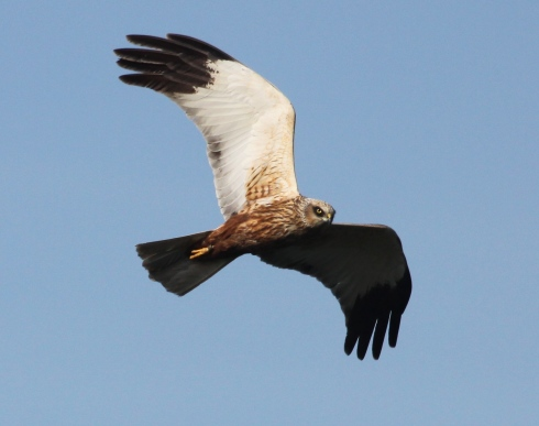 a regular male Marsh Harrier sporting a ring