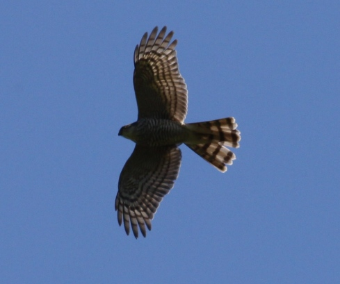 Sparrowhawk over Wassand