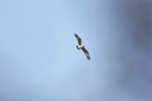 Osprey - Alan Elkin
