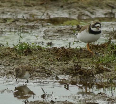 a size comparison shot with a Ringed Plover