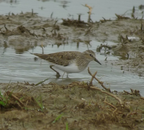 Temminck's Stint at Tunstall - Ade Johnson
