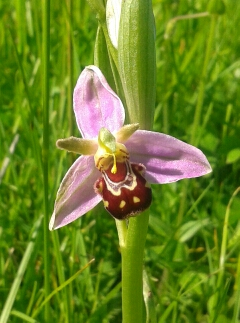 Bee Orchid - 2nd field