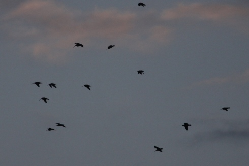 Curlew's dropping in over Mere late evening