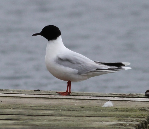 ad Little Gull briefly on Jetty