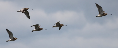 Curlew's over Decoy