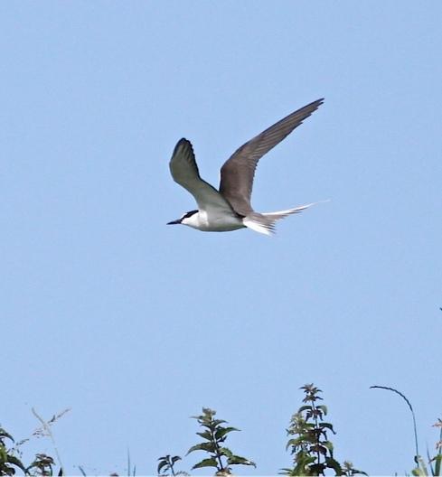 Bridled Tern Inner Farne