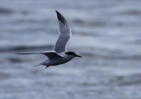 Roseate Tern Inner Farne