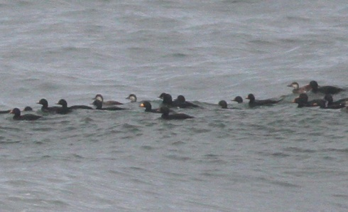Black Scoter, Redcar - Dicky Ticker