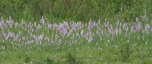 Common Spotted Orchid's in Wassand