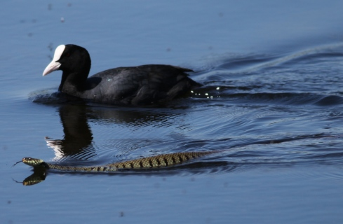 Grass Snake and Coot