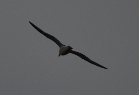 Fulmar over the KP Putting Green